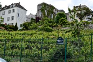 Montmartre_wine_grapes,_Paris_20_May_2014